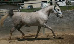Wonderful young mare ready to start under saddle, kind and gentle, follows all commands, lunges, trailers well, stands for farrier, large kind eyes, fabulous Ansata bloodstock pedigree, show potential, floating trot,14 hands, healthy and great