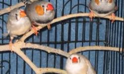 I have a colony of 9 zebra and 2 society finch. Also have a cage that is 3 ft x 2 ft x 3 ft. Selling whole package for 110.00 or 15.00 each. If interested email or call 305-803-5008 This ad was posted with the eBay Classifieds mobile app.