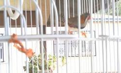 Zebra Finch young adult with nice white cage and some food included. Please call or text at (619)250-0954