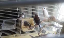 4 Chestnut flanked males, siblings, hatched the end of November. Nice feathering, and love to sing! Father is a CFW and mother is all white. Located between New Paris and Benton