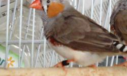 I have Zebra Finches for sale. I am asking 10 for they grey and 15 for the white ones. They are very beautiful birds that sing throughout the day. If interested pleaae call 214-725-4254 or txt 214-680-9026