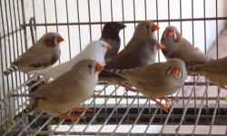 Zebra Finches For Sale! Many Color Mutations Available. [+] Available [*] unavailable [+] Regular $10 [+] Regular Pieds $10-$15 depending on how much Pied (unrelated pairs available) [*] Fawn Pieds $15 [*] Fawns $15 [+] Black Cheeks $15 (two males left)