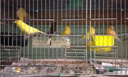"""I have 20 Zebra Finches available. They are from 5 bloodlines, all different colors. Only one or two """"normals"""". Color range - black cheek, black chest, fawn, pastel, (one) pied, (1) FL fancy and black cheek fawn. I am asking $8 each or $120 for all of"""