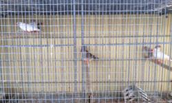 Zebra finches for sale $10 males and females available 3058786531 This ad was posted with the eBay Classifieds mobile app.