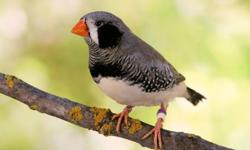 10 ZEBRA FINCHES FOR $5 EACH. All are visual or split to Black Cheek, FL Fancy or Pastel LOOKING TO REHOME ALL OF THEM TOGETHER https://www.facebook.com/11RAviary